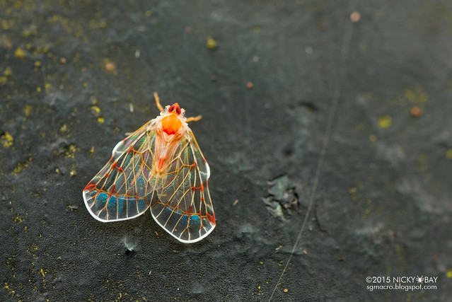Derbid planthopper (Derbidae) - DSC_3868