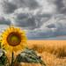 Sonnenblume by hanspirkie