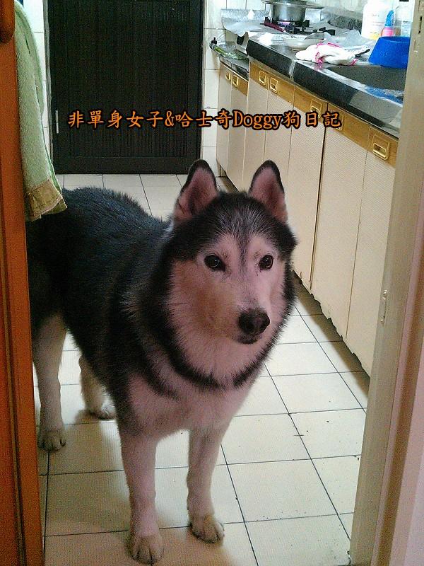 Doggy貪吃狗3廚房等1