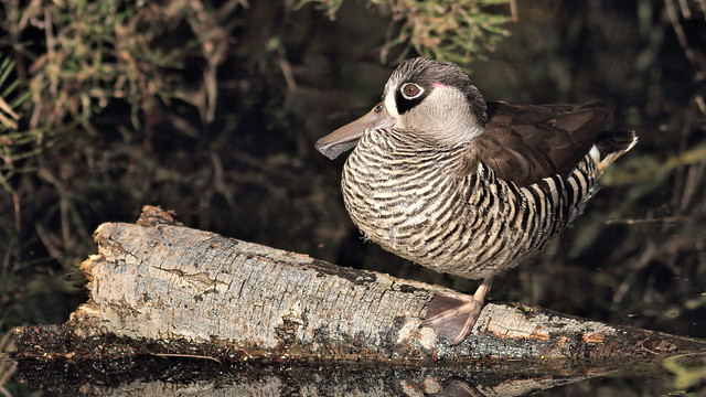 Pink-eared Duck sitting on, Canon EOS 7D, EF400mm f/5.6L USM