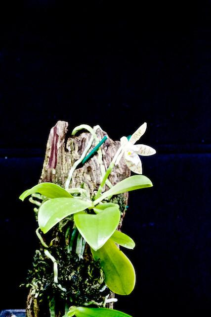 Phalaenopsis alensica 15375186464_59e21824ec_z