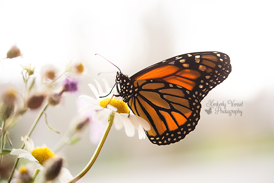 Monarch butterfly #171