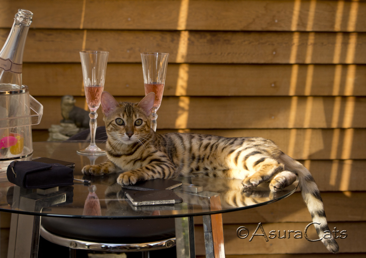 AsuraCats aurora Beam - Brown rosetted bengal cat