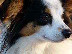 dog breed, animal, dog, phalã¨ne, close-up, papillon, carnivoran, eye,