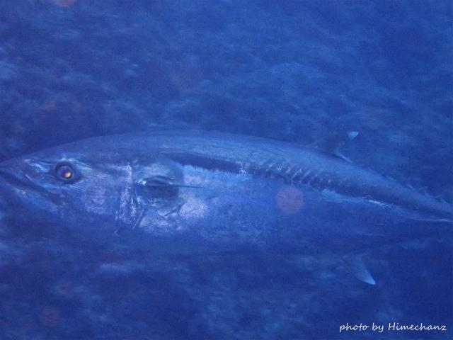 巨大イソマグロが何かに怯えて隠れてました!!!クジラがうろついてんのかなぁw