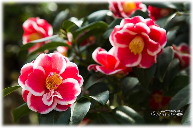 0202陽明山花卉028