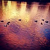 Ducks on the river at sunrise.