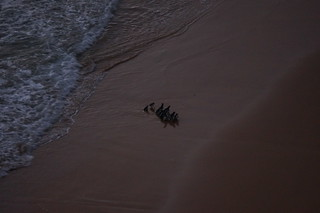 Fairy penguins arrive after sunset at the Twelve Apostles
