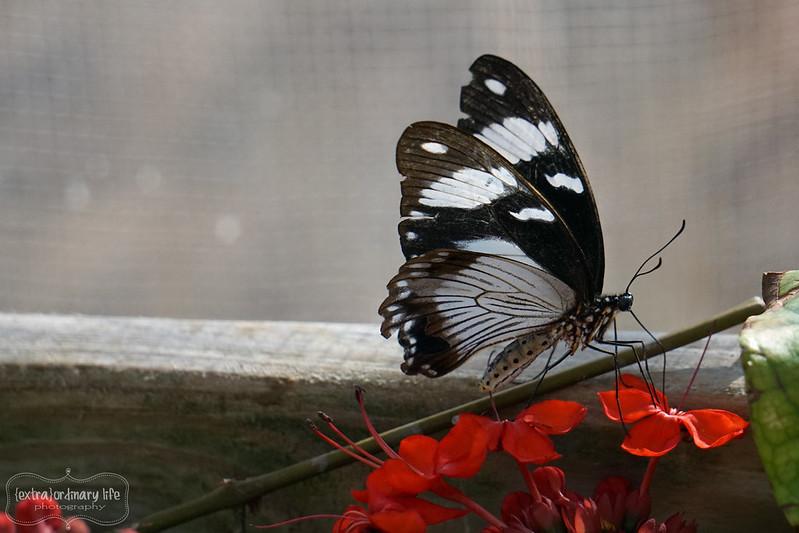 butterflies-7-wm