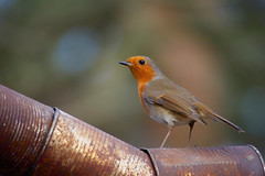 Tin Can Robin...
