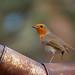 Tin Can Robin... by klythawk