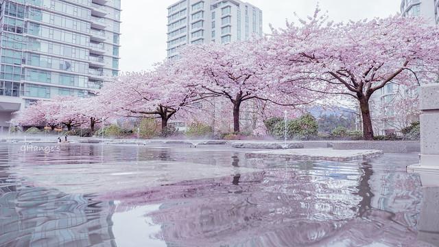 2015 Sakura Vancouver