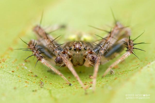 Orb web spider (Eriovixia sp.) - DSC_4408