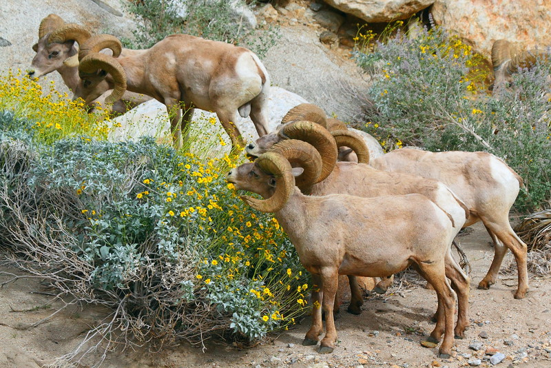 IMG_4959 Peninsular Desert Bighorn Sheep Browsing Brittlebush