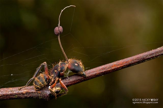 Ant (Formicidae) with cordyceps fungus - DSC_3358