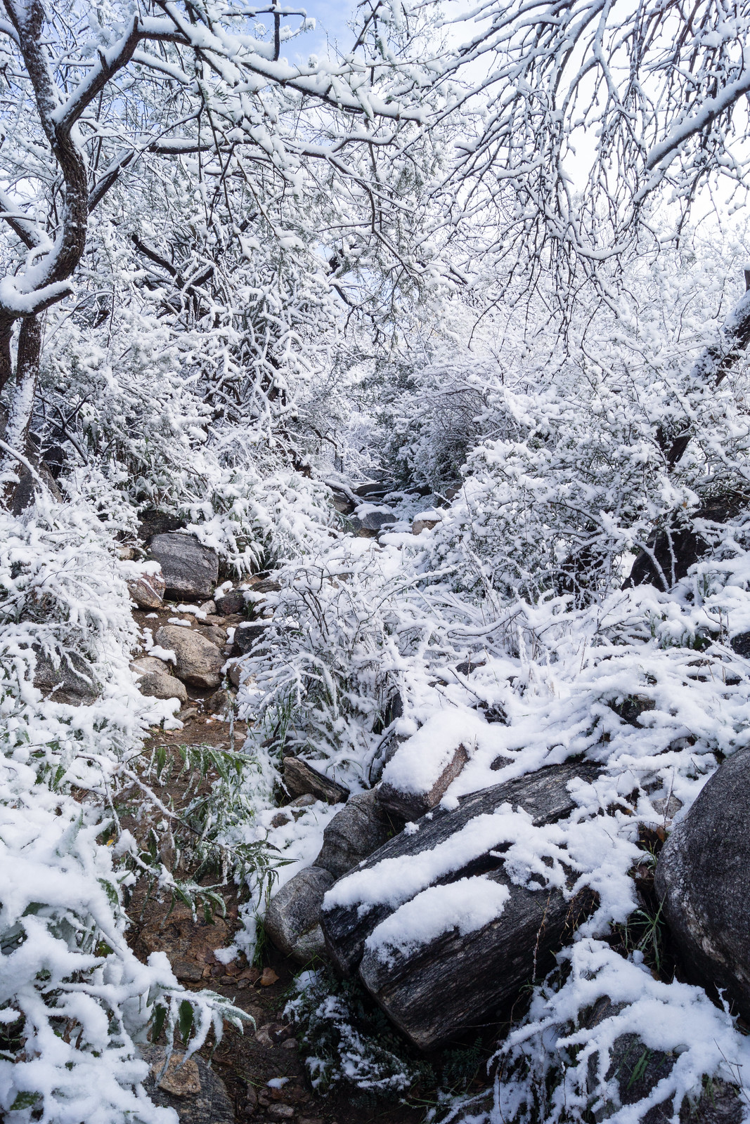 1501 Snow covering all the plants along the Pima Canyon Trail