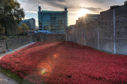Tower poppies at sunrise