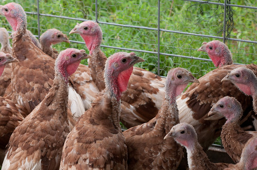 On average, these polts will take 4 to 5 months to make weight.  It takes a lot of natural resources, energy, labor, and love to raise the estimated 46 million turkeys that will be consumed this Thanksgiving.  Show your appreciation by making sure you waste as little food as possible. Photo courtesy of USDA.
