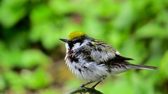 Chestnut-sided Warbler after bath