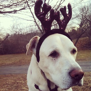 Zeus wishes everyone a very Happy New Year! #dogstagram #instadog #seniordog #ilovebigmutts #antlers #love #ilovemydogs