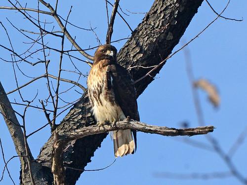 North Woods Hawk - 5813