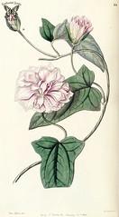 Calystegia pubescens. Edwards's Botanical Register vol. 32 (1846) [Miss Drake]