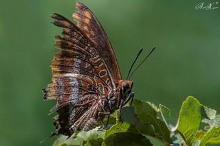 """""""Borboleta do medronheiro"""", Two-tailed Pasha (Charaxes jasius) - em Liberdade [in Wild]"""