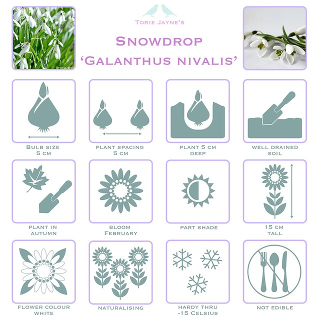 Snowdrop Galanthus Nivalis details