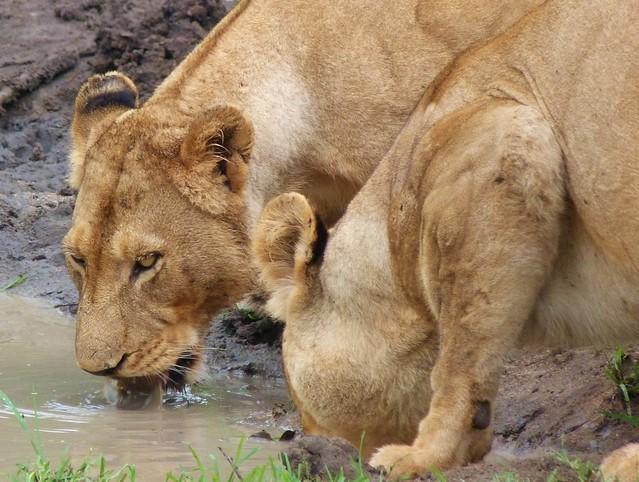 Leonas bebiendo agua en una charca de Sabi Sand (Parque Kruger de Sudáfrica)