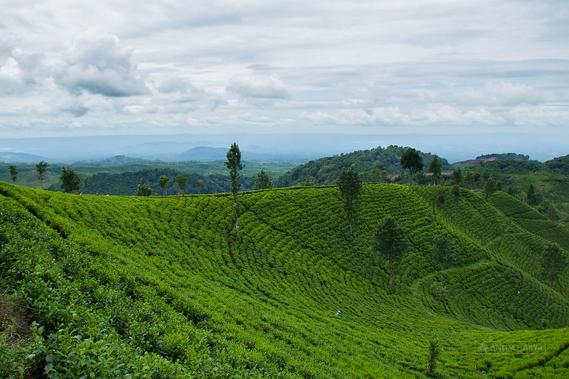 Ukir Negoro Tea Farm