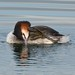 Great Crested Grebe  That must be a big itch