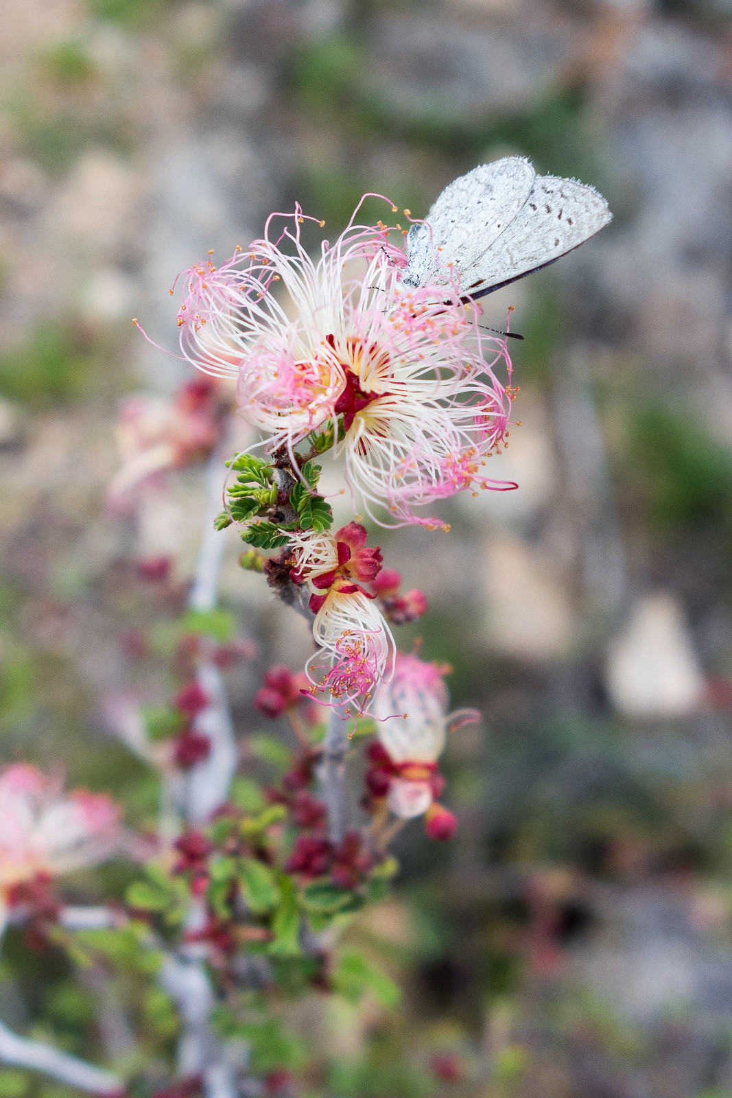 1502 Fairy Duster and Butterfly