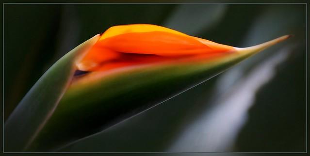Paradiesvogel-Blume, Strelizia regina / Knospe
