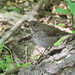 Gray-cheecked Thrush ( Catharus minimus) GCTH