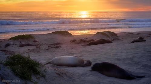 Sunset and Elephant Seals