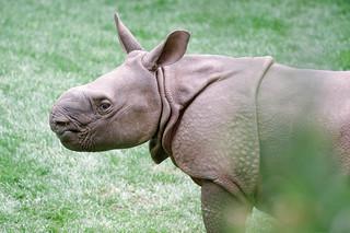 Chutti the Rhino.