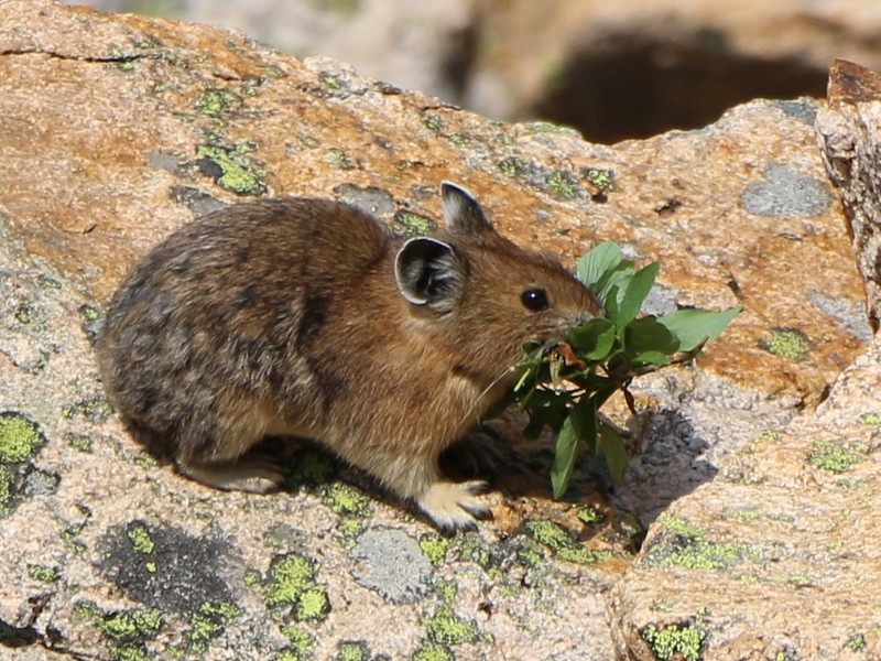 Shot of a very cute Pika collecting food for his winter storage