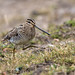 Snipe by Andrew Haynes Wildlife Images ( Thanks )
