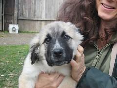 dog breed, animal, dog, pet, sarplaninac, carnivoran,