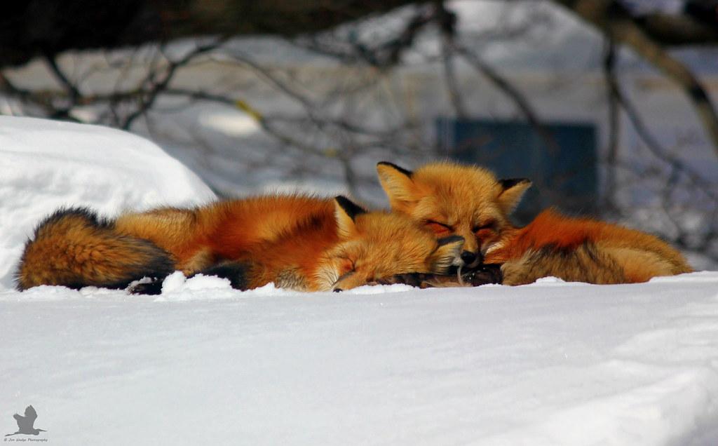 Fox Cuddles