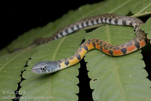 Xenochrophis trianguligerus_MG_6391 copy
