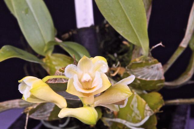 Dendrobium lamellatum 16786212826_c6e093e9dd_z