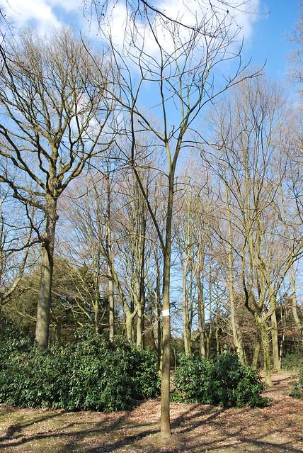 Nr. 3 Götterbaum (Ailanthus altissima)
