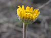 golden aster (Heterotheca)