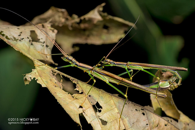 Stick insects (Phasmatodea) - DSC_3549