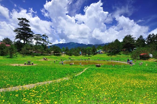 Fushoushan Farm 福壽山農場,貓耳菊