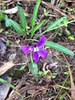 Viola betonicifolia- Arrow leafed violet (?)