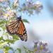 Chasing the monarchs at Caney Fork Overlook on the BRP in NC *EXPLORER* by Tracey Rabjohns