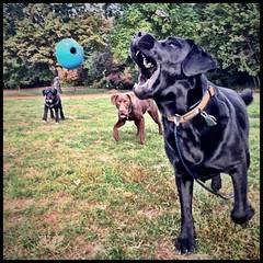 #Blue #Bosco #Skooter #brooklyndogs #prospectpark