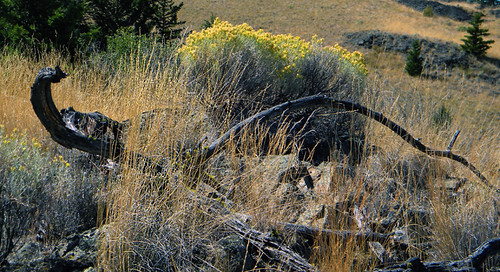 The sage turns yellow with blooms in the fall up in the hills above Merritt, BC